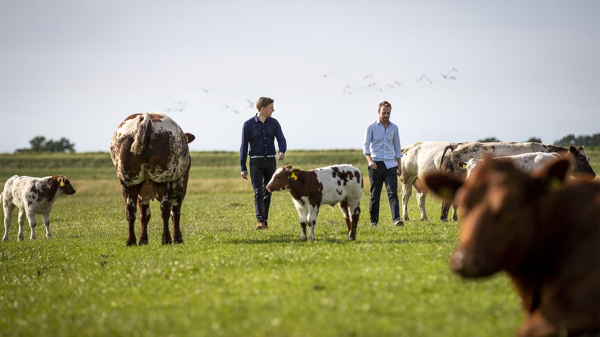 Meatable koeien weiland