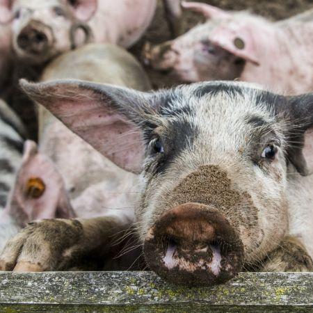 Grootste landbouw export varkens stikstof kringloop