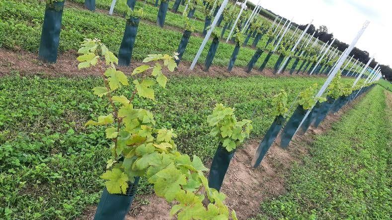 Wijnhandel druiventelers wijngaard domaine brabantse wal