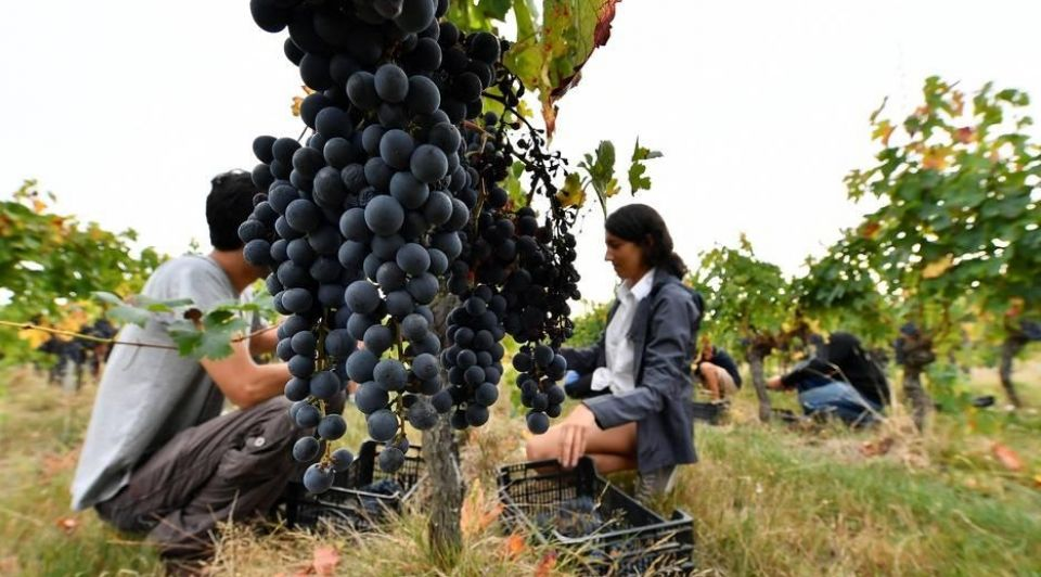 Biowijn bordeaux druiven