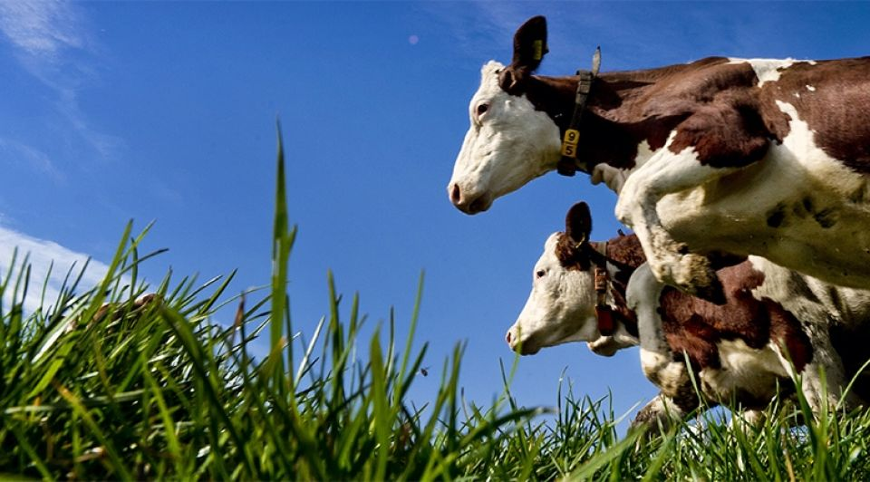Dansende koeien biologisch veeteelt