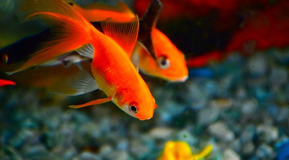 Kantoorvis goudvis kantoor bedrijfsvoering personeel werknemers relaxt goede uitwerking