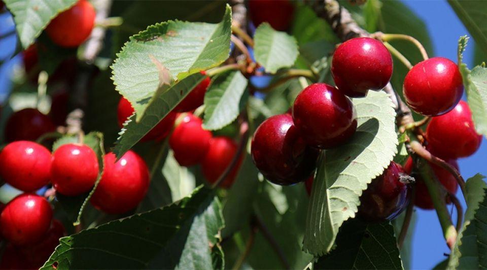 Kersenboomgaard