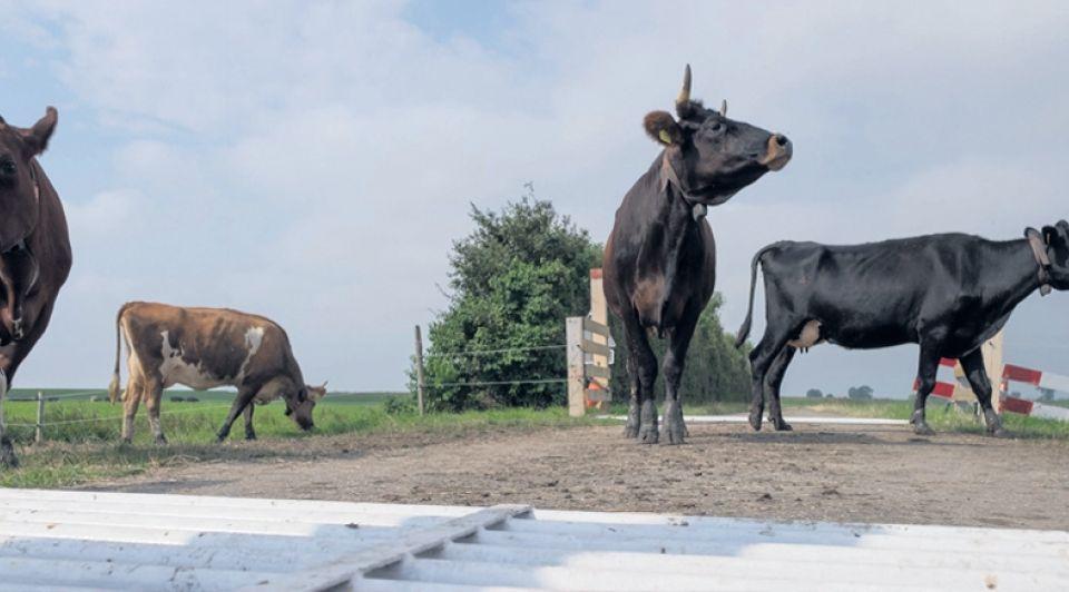 Koeien wildrooster oversteken dirk jan gjeltema