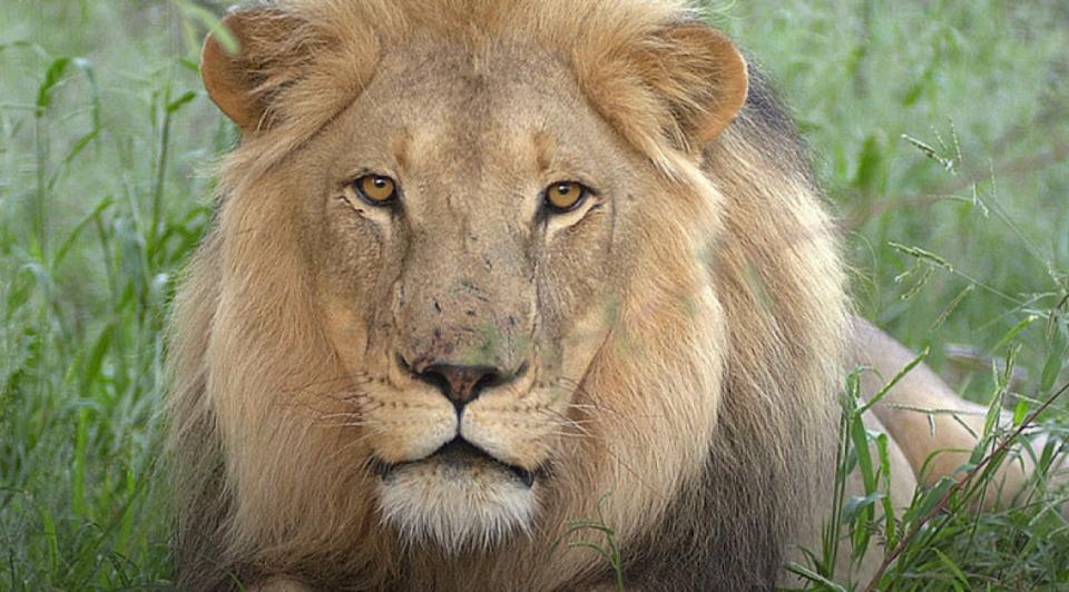 Leeuw wildlands verhuizing emmen dierenpark 1065