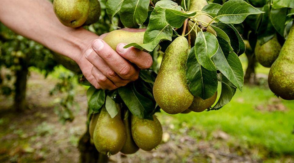 Peren fruitteler rusland 1065