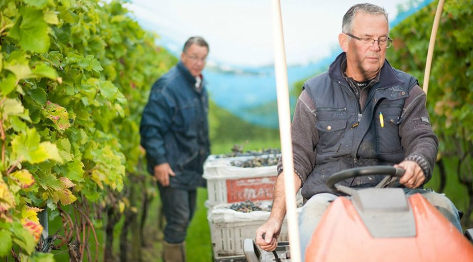 Pieter de boer druiven plukken wijn wijndomein de koen wijngaard nederland wijnboer wijnland