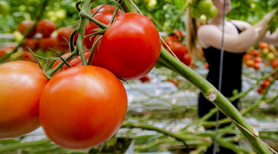Tomaten 1065
